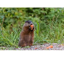Beaver munching on a carrot Photographic Print