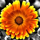 Gerbera Daisy by Dean Messenger