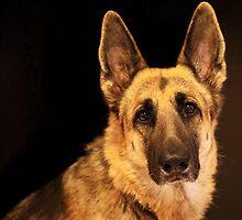 German Shepherd by mimsjodi
