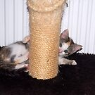 Nellie and the Scratching Post  by vbk70