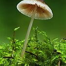 Mycena by Glynn May