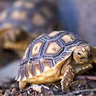 Lil' Torts by Sue  Cullumber