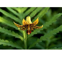 Yellow Tiger Lily and Fern Photographic Print
