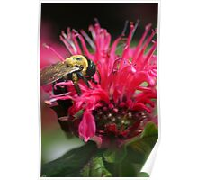 Bee on Bee Balm Poster