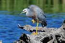 White Faced Heron - Kooragan Island - Newcastle by Alwyn Simple