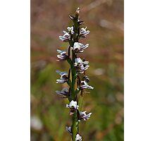 Highland Leek Orchid - Prasophyllum alpestre Photographic Print