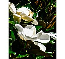 SOUTHERN MAGNOLIA - TWO BLOSSOMS Photographic Print
