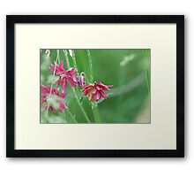 Double Flowered Aquilegia Framed Print