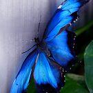 Blue Morpho - Morpho peleides (dorsal) - Wings Open by jules572