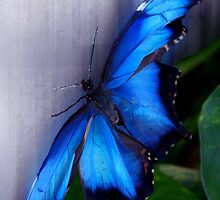 Blue Morpho - Morpho peleides (dorsal) - Wings Open by jules572