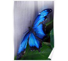 Blue Morpho - Morpho peleides (dorsal) - Wings Open Poster