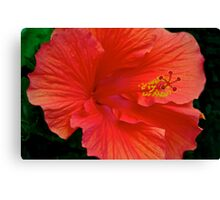 One of my garden Hibiscus blooms Canvas Print