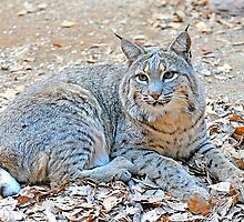 Hello Mr Bobcat  by Judy Grant