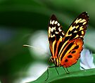 Tiger Longwing Butterfly  by Marcia Rubin