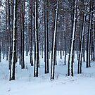 Cold Forest by Olga Zvereva