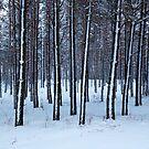 Cold Forest by Olga Zvereva