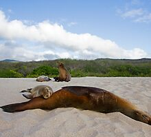 Galapagos Sea Lion by Ken Griffiths