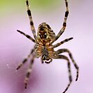 Garden Spider by AnnDixon