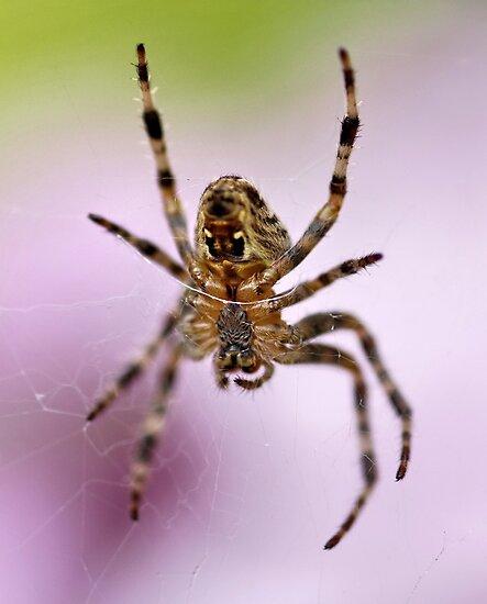Garden Spider by AnnDixon
