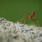 Fire Ant  by Dean Mullin