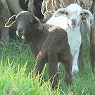 Twin Female Lambs by louisegreen