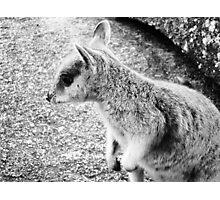 Mareeba Rock Wallaby Photographic Print