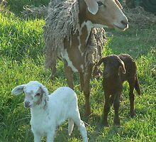 Coloured Ewe & Twins by louisegreen