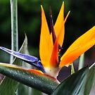 Bird of Paradise by chloemay