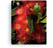 Blossom, Australian, Eucalyptus, ficifolia. Canvas Print