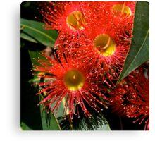 Australian, Eucalyptus ficifolia, Blossom #2.  Canvas Print