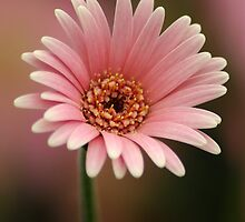 Pink Gerber Daisy by crystalseye