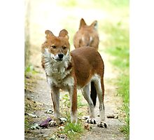 Young Dhole Photographic Print
