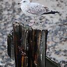 Gull by JulesPH
