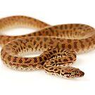 Children's Python (Antaresia childreni) by Shannon Benson