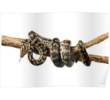 Gammon Ranges Carpet Python (Morelia spilota ssp.) Poster