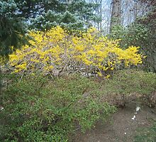 A beautiful forsythia bursting forth in its yellow splendor at Easter 2010  by fionahoratio