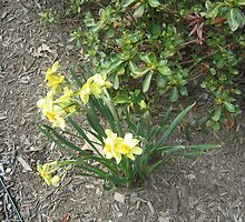 Yellow Springtime Daffodils by fionahoratio