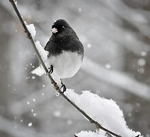 Dark-eyed Junco by Susana Weber
