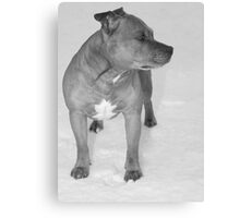 Staffie in the snow Canvas Print