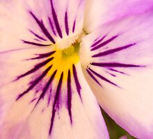 Purple And White Pansy Macro by Sandra Foster