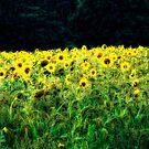 Sunflowers Galore by Karen  Betts