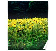 Sunflowers Galore Poster