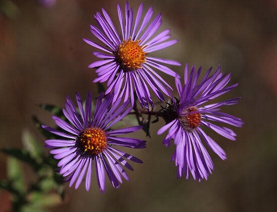 New England Aster by Renee Blake