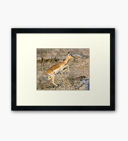 Leaping Impala Framed Print