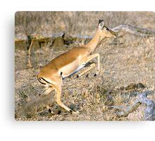Leaping Impala Metal Print