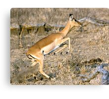Leaping Impala Canvas Print