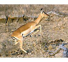 Leaping Impala Photographic Print