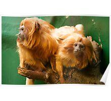 Golden headed lion Tamarin Poster