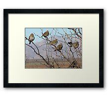 Lark Buntings ~ Non-breeding Adult males (Bachelor Club) Framed Print