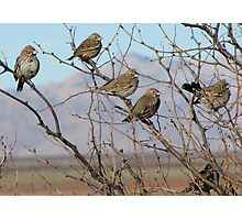 Lark Buntings ~ Non-breeding Adult males (Bachelor Club) Photographic Print